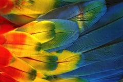 Plumas Colores - Guacamaya, 2018, Extra Small Color Archival Pigment Print