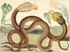 Albertus Seba, Snakes,