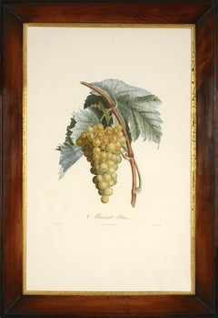 POITEAU, Traité des arbres fruitiers: A set of  four grapes