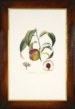 POITEAU, Traité des arbres fruitiers: A set of  four peaches