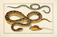 Albertus Seba, Snakes, engraving, hand-coloured, 1735
