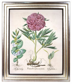 Basilius Besler, a set of  Hand-coloured Peonies, copper engraved plates, 1620