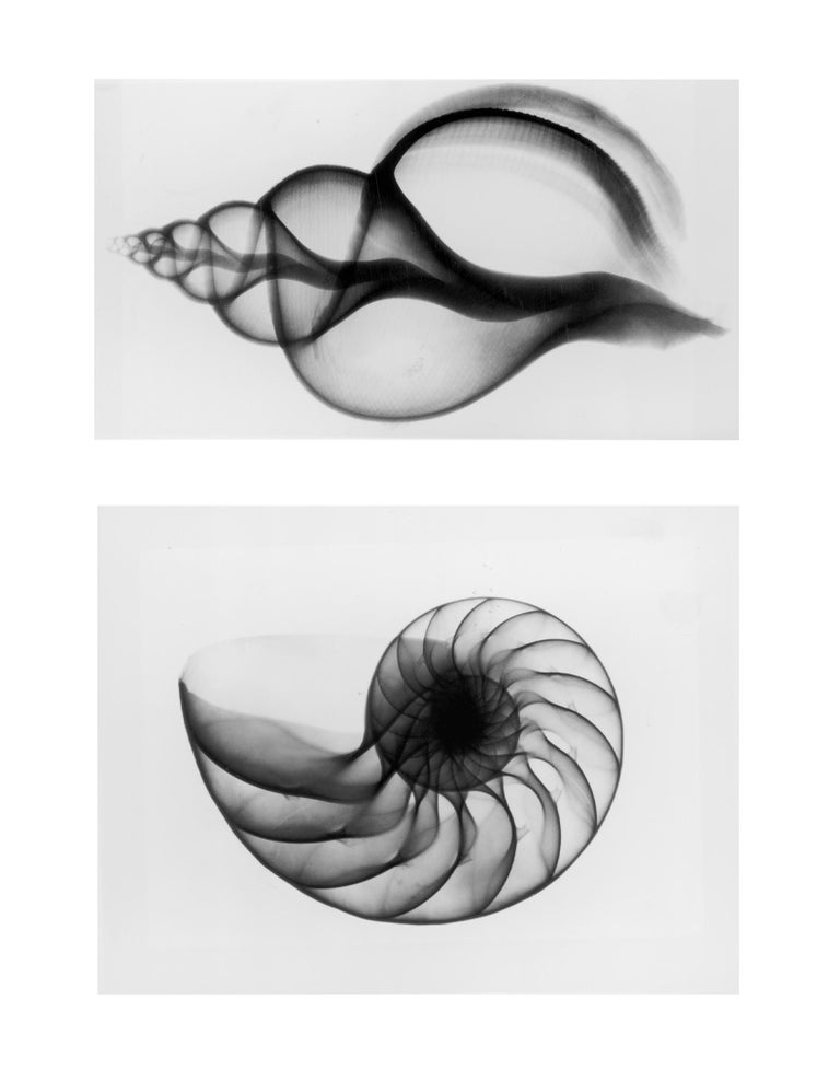 Edward Charles Le Grice Black and White Photograph - X-Ray Seashell Pair, Circa 1910, Silver Gelatin prints, Black & White, Abstract