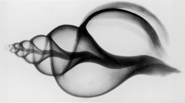 X-Ray Seashell Pair, Circa 1910, Silver Gelatin prints, Black & White, Abstract - Photograph by Edward Charles Le Grice