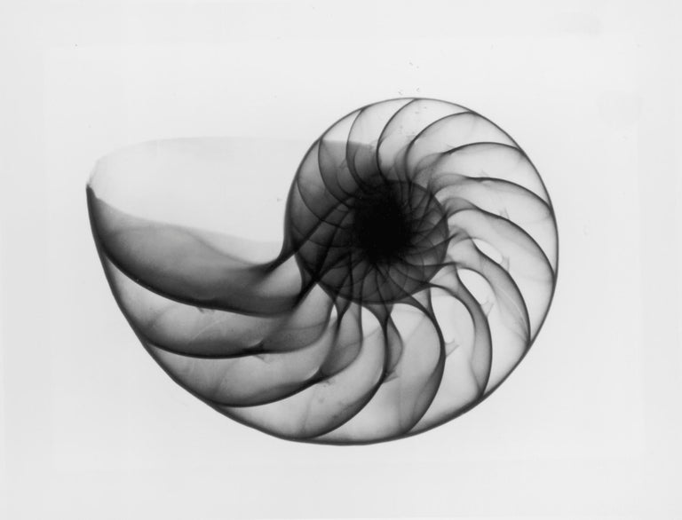 X-Ray Seashell Pair, Circa 1910, Silver Gelatin prints, Black & White, Abstract - Gray Black and White Photograph by Edward Charles Le Grice