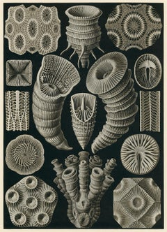 Art Forms in Nature (Plate 29 - Tetracorall. Four-ray Star Corals)