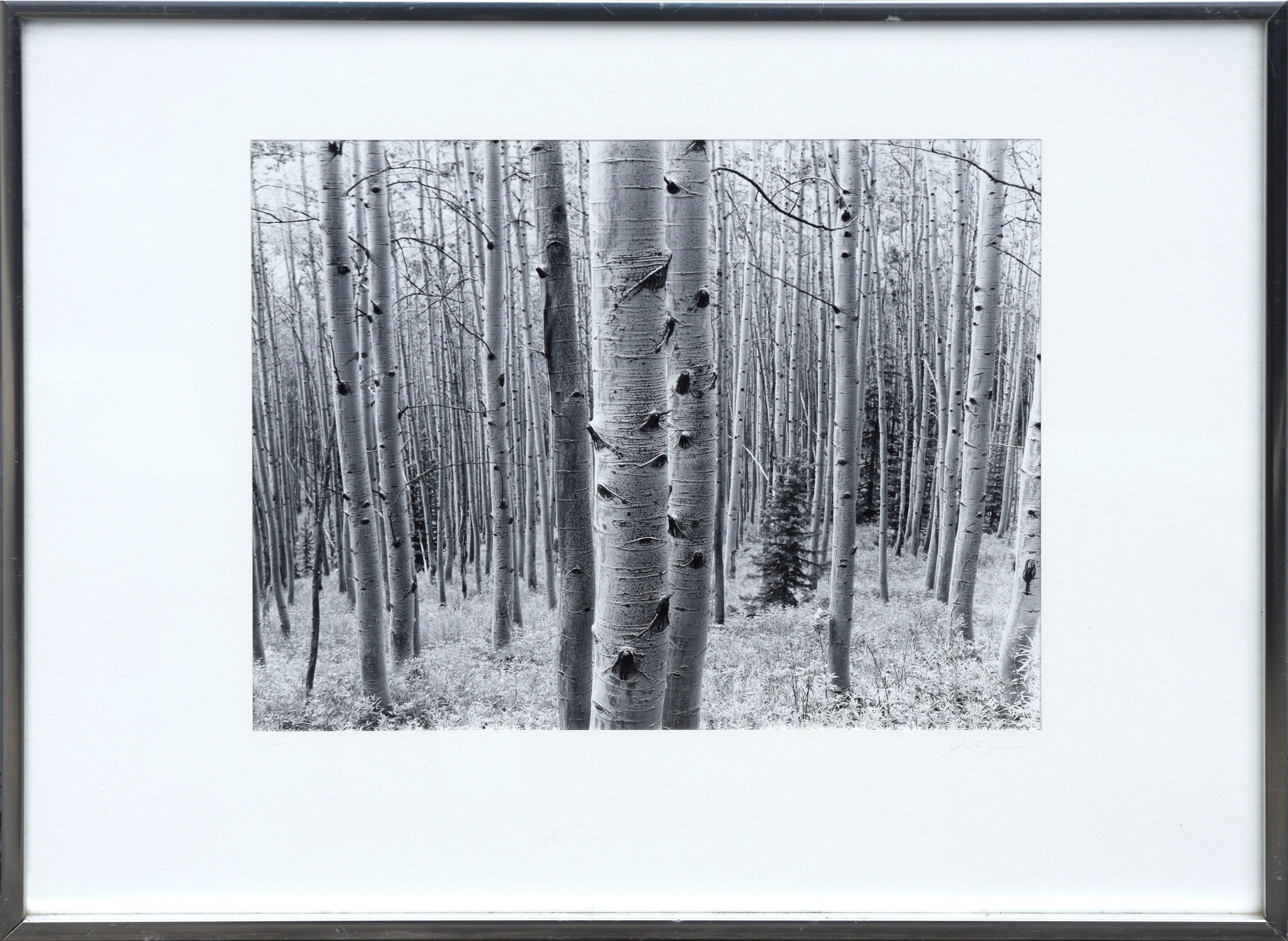 Aspen Grove Forest - Black & White Landscape Photograph