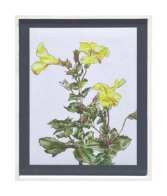 Yellow Monkey Flower - Botanical Study