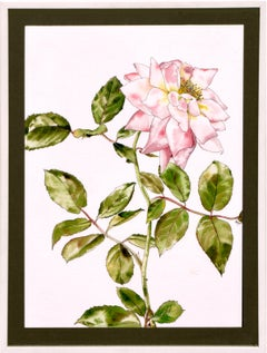Garden Rose - Botanical Study