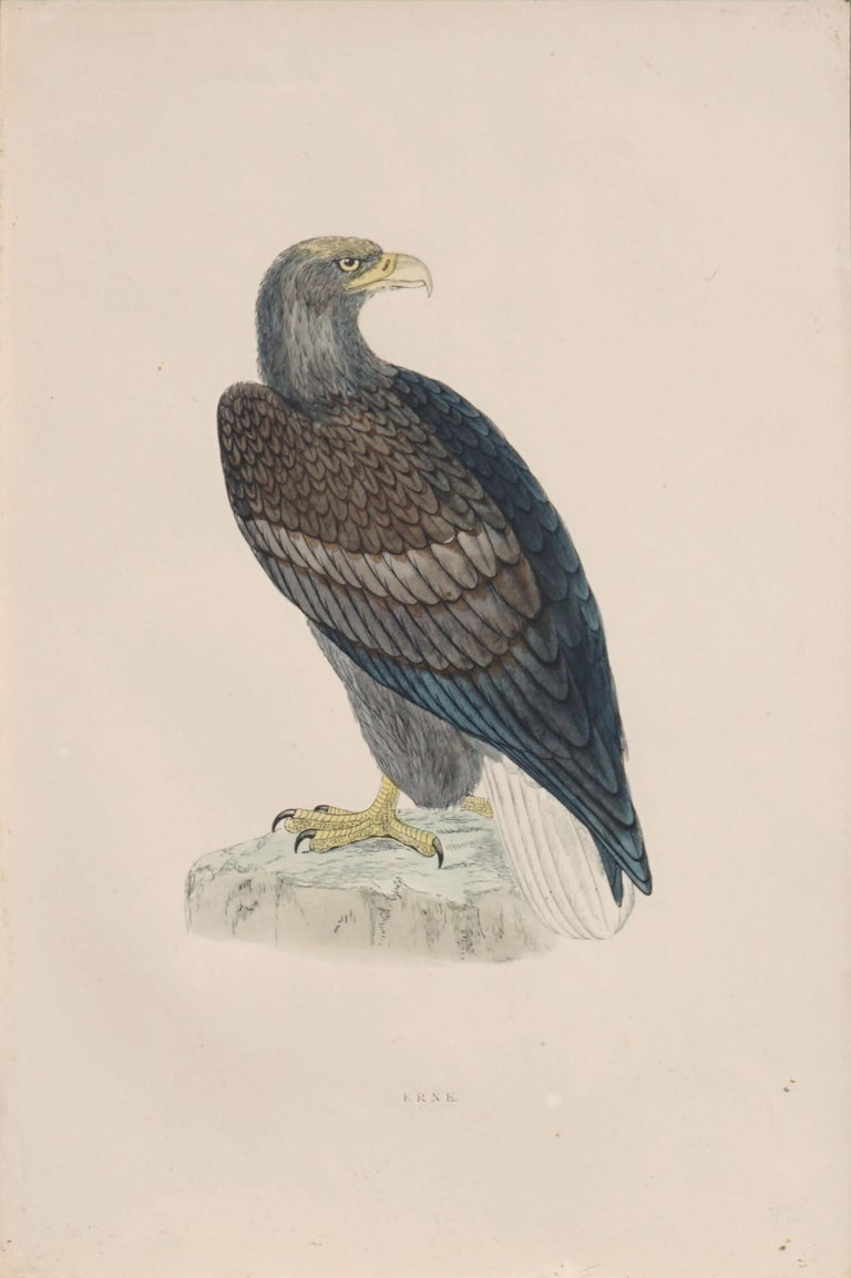 Mid-19th Century Erne Sea Eagle - Hand Colored Ornithology Engraving  - Print by Alexander Francis Lydon