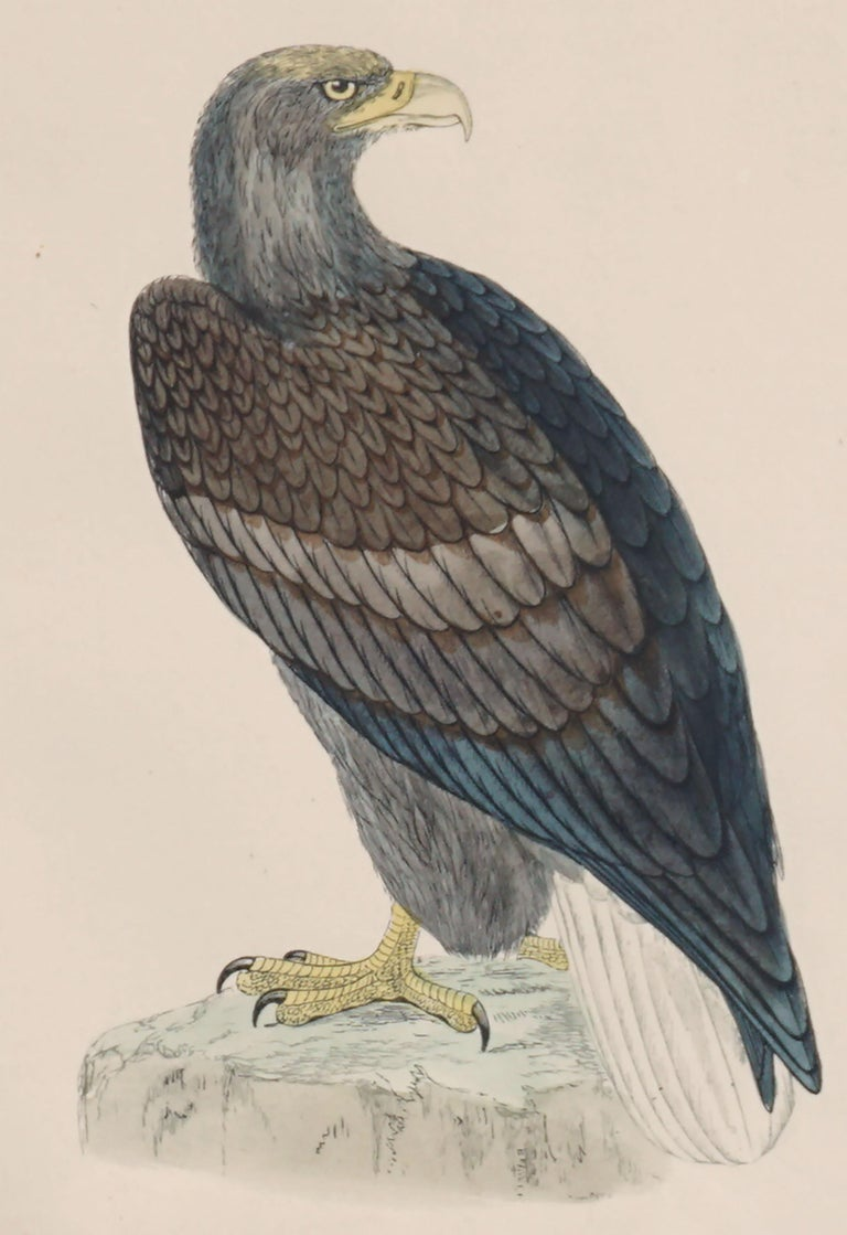 Mid-19th Century Erne Sea Eagle - Hand Colored Ornithology Engraving  - Realist Print by Alexander Francis Lydon