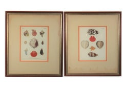 Marine Shells and Conchs Engravings from Late 18th Century
