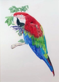 Parrot, Brightly Colored Tropical Bird, Color Pencil on Paper, Framed