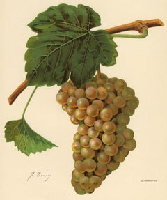 The Jean grape - from Ampelography by Vermorel - Lithograph - Early 20th century