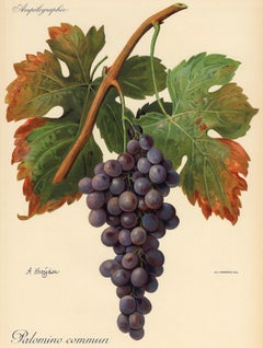Palomino Commun grape - Ampelography by Vermorel - Lithograph - Early 20th c.