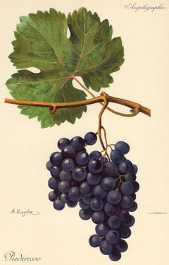 The Piedirosso grape - from Ampelography by Vermorel - Lithograph - Early 20th c