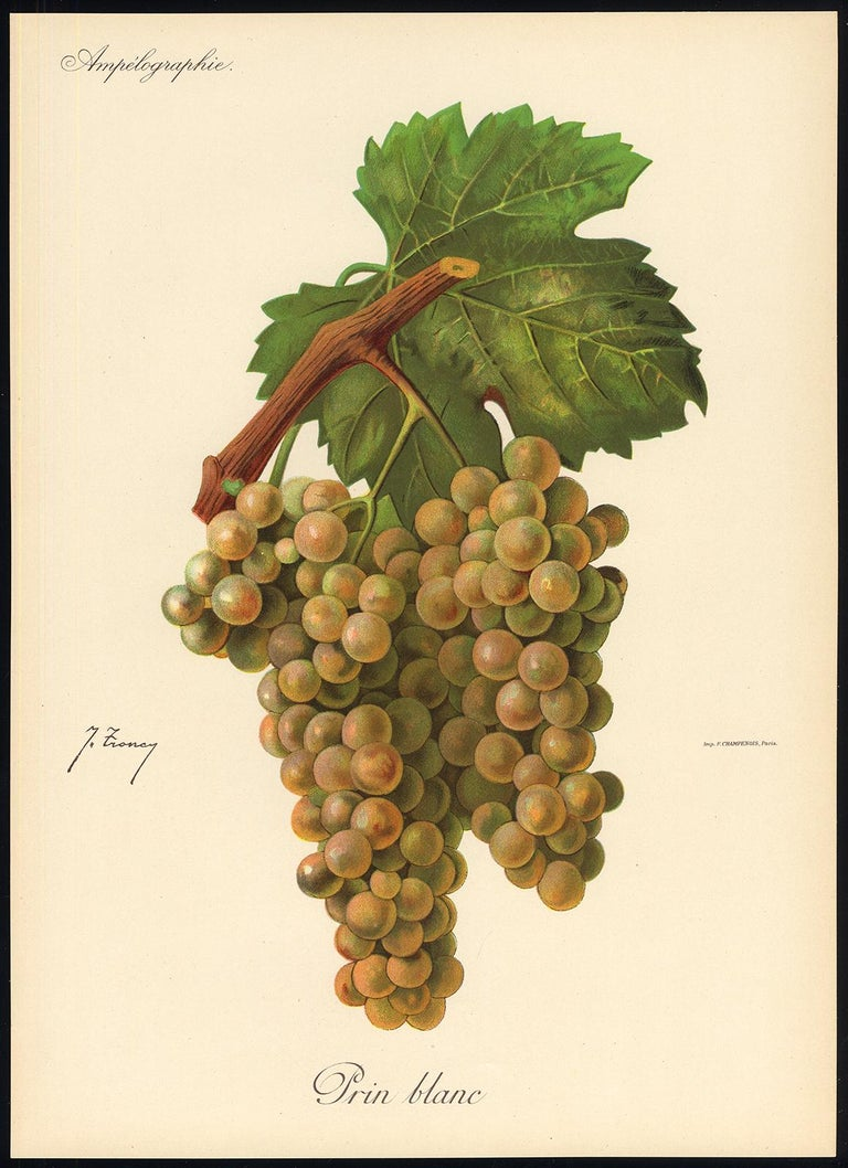 The Prin Blanc grape - from Ampelography by Vermorel - Lithograph - Early 20th c - Print by Victor Vermorel