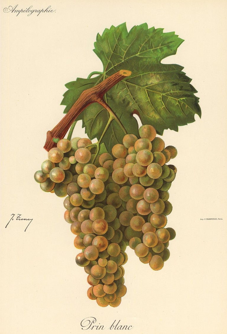 Victor Vermorel Print - The Prin Blanc grape - from Ampelography by Vermorel - Lithograph - Early 20th c