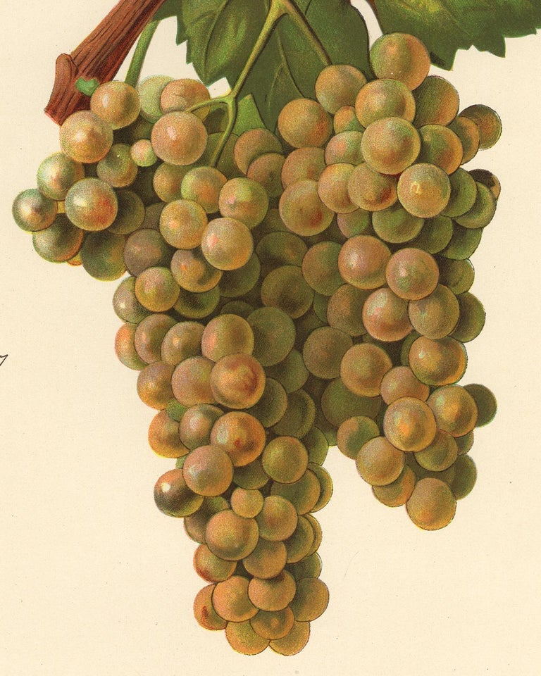 The Prin Blanc grape - from Ampelography by Vermorel - Lithograph - Early 20th c - Contemporary Print by Victor Vermorel