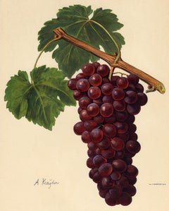 The Romanka grape - from Ampelography by Vermorel - Lithograph - Early 20th c.