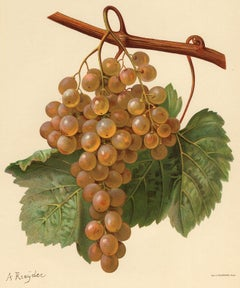 The Taamalet grape - from Ampelography by Vermorel - Lithograph - Early 20th c.