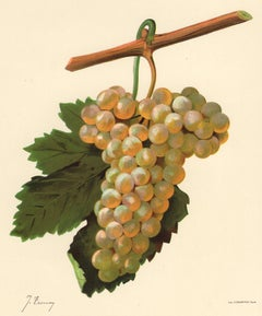 Verdat Blanc grape - from Ampelography by Vermorel - Lithograph - Early 20th c.