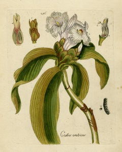 Ginger from Medicinal Plants by Happe - Handcoloured engraving - 18th century