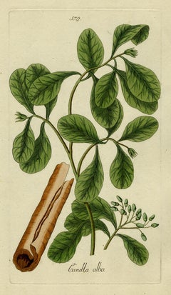 Wild Cinnamon from Medicinal Plants by Happe - Handcoloured engraving - 18th c.