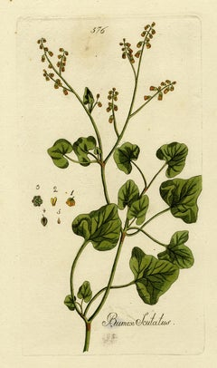 French Sorrel from Medicinal Plants by Happe - Handcoloured engraving - 18th c.