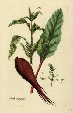 Beet from Medicinal Plants by Happe - Handcoloured engraving - 18th century