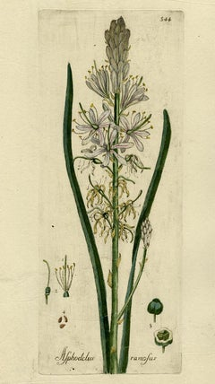 Branched Asphodel - Medicinal Plants by Happe - Handcoloured engraving - 18th c.