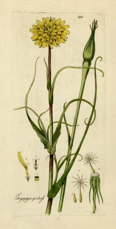 Meadow Salsify from Medicinal Plants by Happe - Handcoloured engraving - 18th c.