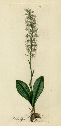 Lesser Butterfly-Orchid - Medicinal Plants by Happe - Handcoloured - 18th c.