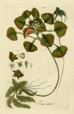 Chestnut from Medicinal Plants by Happe - Handcoloured engraving - 18th century