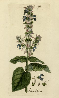 Clary Sage from Medicinal Plants by Happe - Handcoloured engraving - 18th c.