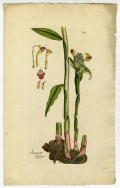 Amomum Ginger from Medicinal Plants by Happe - Handcoloured engraving - 18th c.