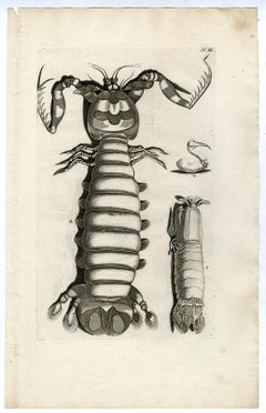 Lobster from Ambonian Cabinet of Curiosities - Rumphius - Engraving - 18th c.