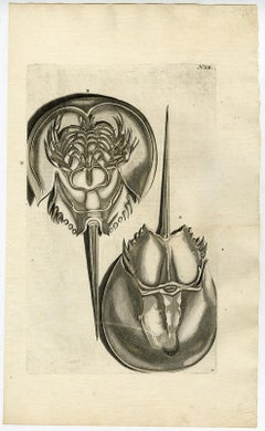 Horseshoe Crab - Ambonian Cabinet of Curiosities Rumphius - Engraving - 18th c.