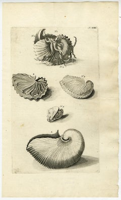 Nautilus Shell - Ambonian Cabinet of Curiosities Rumphius - Engraving - 18th c.