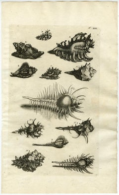 Snail and Mollusks - Ambonian Cabinet of Curiosities by Rumphius - 18th c.