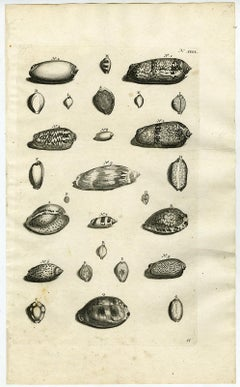 Cypraea snail - Ambonian Cabinet of Curiosities - Rumphius - Engraving - 18th c.
