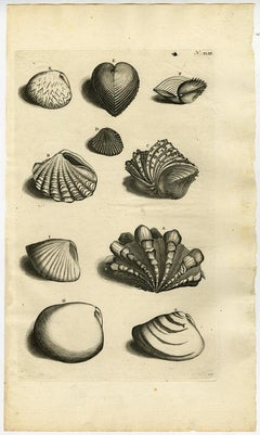 Bivalve Mollusks - Ambonian Cabinet of Curiosities by Rumphius - 18th c.