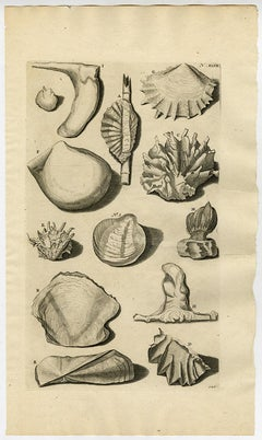 Oyster Species - Ambonian Cabinet of Curiosities - Rumphius - Engraving - 18th c