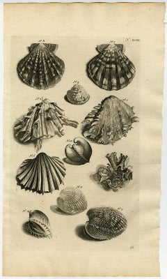 Venus clams - Ambonian Cabinet of Curiosities by Rumphius - Engraving - 18th c.