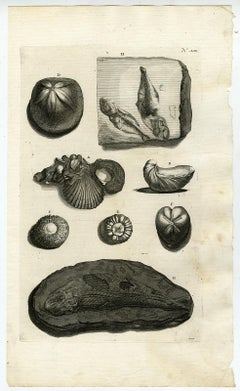 Fossilized shells and fish - Ambonian Cabinet of Curiosities - Rumphius - 18th c
