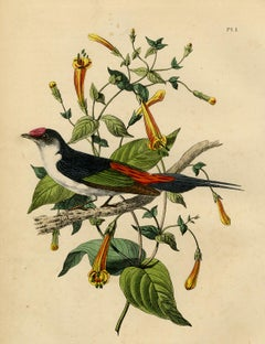 Antique print of a pin-tailed manakin by Le Maout - Engraving - 19th c.