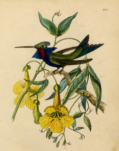 Decorative print of a hummingbird on bignonia by Le Maout - Engraving - 19th c.
