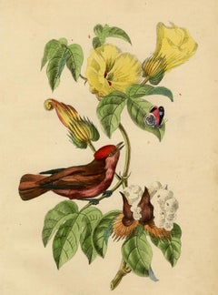 A red phoebe on a cotonicco tree and butterfly by Le Maout - Engraving - 19th c.