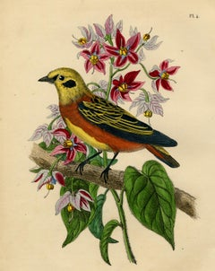 Antique bird print of a golden tanager by Le Maout - Engraving - 19th c.
