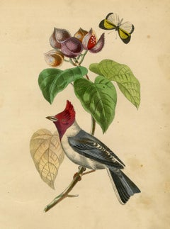 Antique bird print of a finch on Rocouyev by Le Maout - Engraving - 19th c.